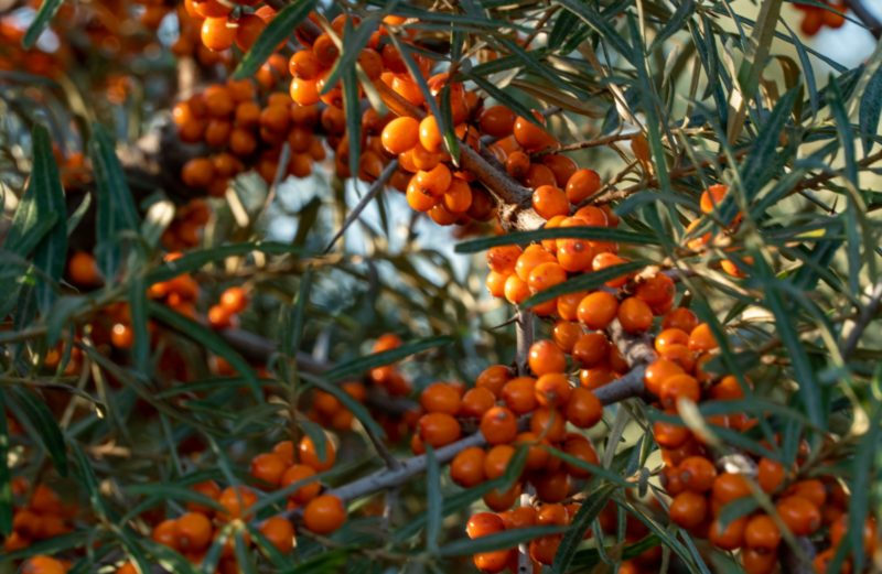 Sea Buckthorn, a True Superfood for Your Skin